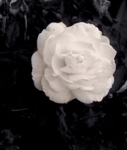 Rose Photograph - Kalinka Corbacho